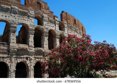 ROME, ITALY, July 6, 2017: A flowering tree in front of the Colosseum in Rome.