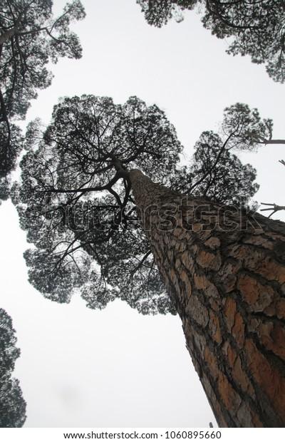 Rome Unique Stone pine trees, (Pinus pinea)  aka Italian stone pine, umbrella pine and parasol pine. Blue sky white clouds background . Spring.Villa Borghese, Rome Italy