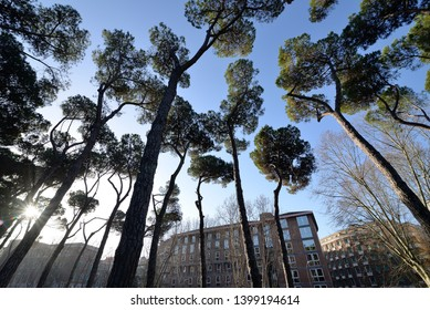 Rome urban forest pine trees