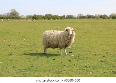 Romney Marsh Sheep in field