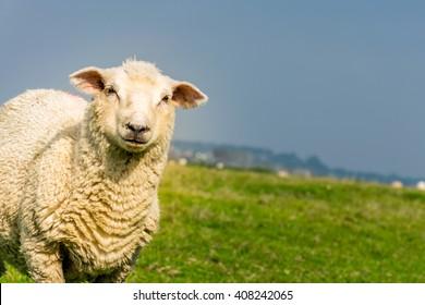 Romney Marsh sheep on marshland