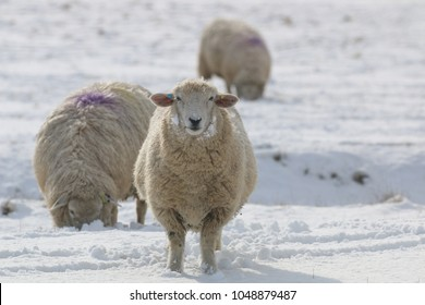 Romney Marsh sheep in the snow, one facing camera with two grazing behind