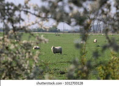 A Romney Marsh Sheep standing in a field in Kent, framed by a hedge