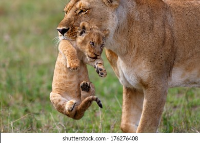 Rongai Pride Lioness mother carries her baby to another place, because some Buffalo bulls were very close in Masai Mara, Kenya