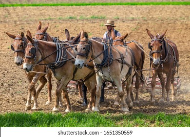Ronks, PA / USA - April 25, 2015: An Amish farmer uses a team of mules to plow and prepare his Lancaster County field for planting.