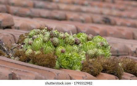 Roof houseleek (Sempervivum tectorum), closeup