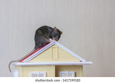 Roof repair concept. Repair the roof. Mouse on the roof. Gray rat. Improve the house.