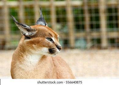 Rooikat caracal wild cat standing and staring in a distance.
