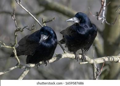 The rook - bird (Corvus frugilegus)