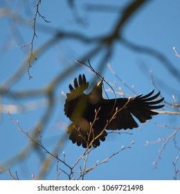 A rook bird is fluttering between treetops with nesting materials