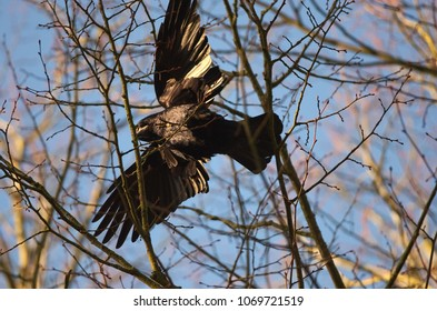 A rook bird is fluttering between treetops with nesting materials in spring