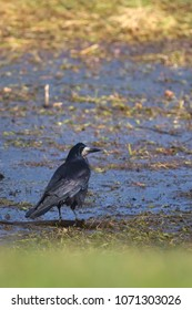 A rook bird standing on the grassland in front of a small pond