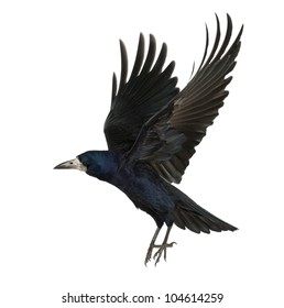 Rook, Corvus frugilegus, 3 years old, flying against white background