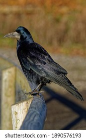 Rook (Corvus frugilegus) Adult perched on pence looking.