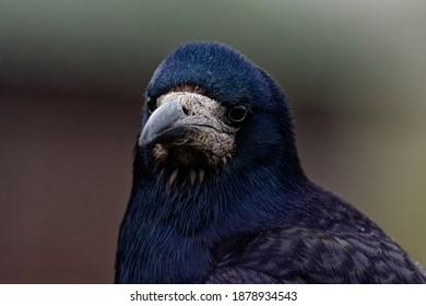 Rook (Corvus frugilegus) Adult,portrait with blurred background