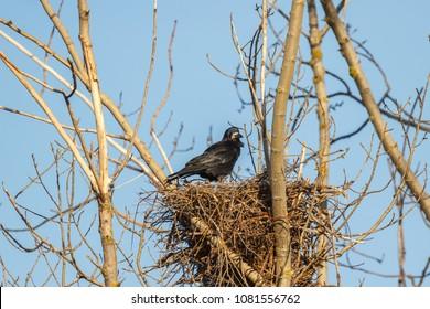 Rook in the nest. Corvus frugilegus.
