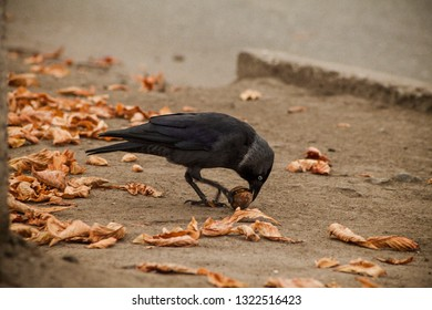Rook raven trying to crack open nut on the sidewalk and yellow autumn leaves on the background. Street bird.
