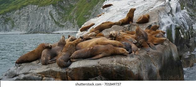 Rookery of Steller Sea lion near the coast of Kamchatka