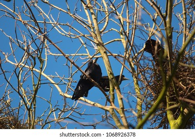 Rooks are nesting in treetops and building big nests