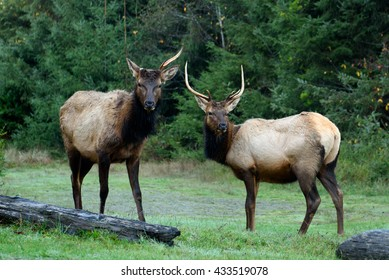 Roosevelt elk (Cervus canadensis roosevelti) grazing in a field in Prairie Creek Redwoods State Park, Humboldt County, California.