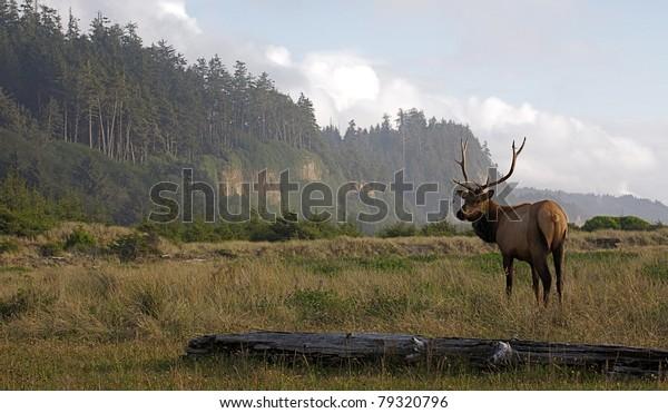 Roosevelt Elk at Gold Bluffs Beach, Redwood State park, California (wildlife scenic)