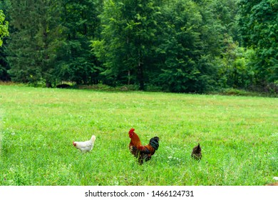 A rooster - an adult male chicken (Gallus gallus domesticus) and hens on a meadow.