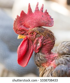 Rooster with a bare neck on the farm
