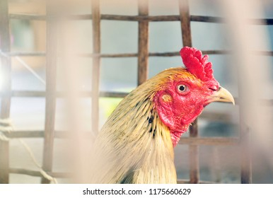 A rooster bred and trained for cockfighting. Also called gamecock