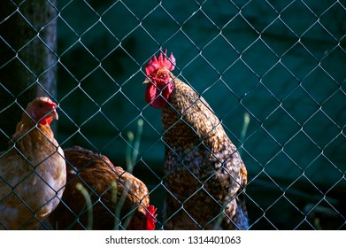 Rooster and chickens in a coop