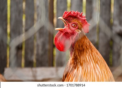 the rooster crows early in the morning