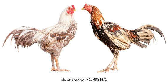 Rooster crows isolate with clipping path