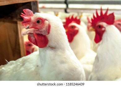 Rooster Farm, Poultry with selective focus in Santa Catarina State, Brazil