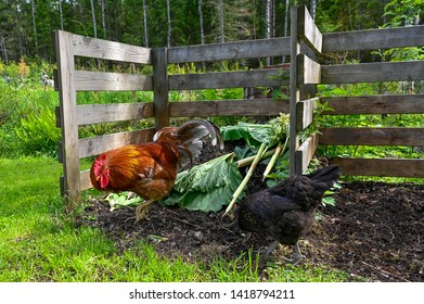 Rooster and hen eating in garden compost