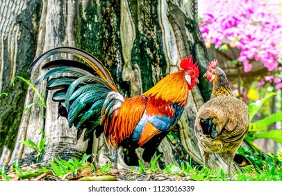 Rooster and hen. Hen and rooster farm scene. Farm rooster hen view