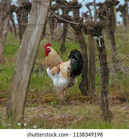 Rooster and hen on traditional free range poultry farm in the vineyards, France, Europe