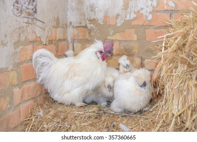 The rooster in the henhouse