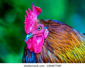A rooster, also known as a cockerel or cock, is a male gallinaceous bird, with cockerel being younger and rooster being an adult male chicken