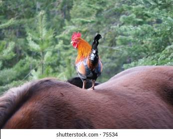 Rooster on Horseback