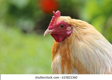Rooster, Outside, Portrait