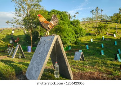 A rooster with its red comb cut off because it is a fighting cock, standing on its shelter at a gamefowl farm in the Philippines, where more than 44 million roosters are being bred for cockfighting .