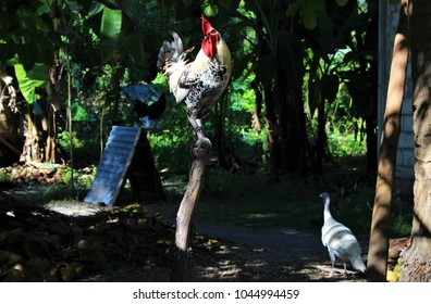 A rooster with a red comb stands on a stick