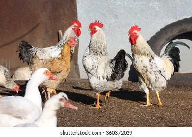 roosters and ducks, poultry on the farm yard
