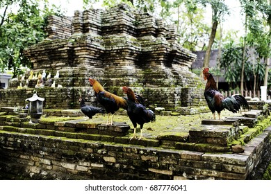 Roosters at a temple in Chiang Mai.