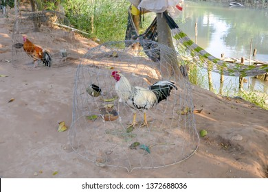 Roosters used for cock fights in small cages along Mekong River waterfront in rural Vietnam.