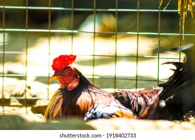 The roosters are very majestic