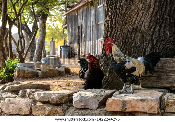 Roosters walking the line, Texas