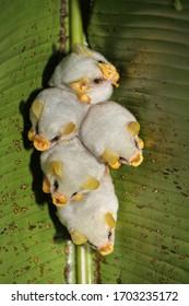 Roosting colony of Honduran white bats (Ectophylla alba), Costa Rica