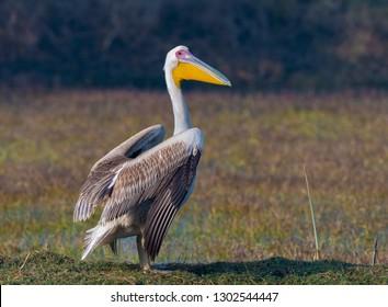 roosting Great White Pelican in Keoladev Ghana National Park, Bharatpur, Rajasthan, India