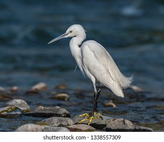 roosting little egret in Foothills of Himalaya