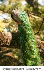Roosting peacock on tree branch